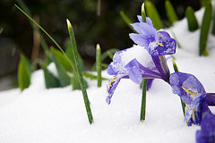 "Creative Commons ""SnowFlowers-4"" by nelgdev is licensed under CC 2.0."