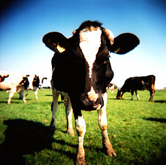 "Creative Commons ""Cow"" by Jelle is licensed under CC BY 2.0."