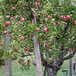 "Creative Commons ""Apple Tree"" by Brad Greenlee is licensed under CC BY 2.0."